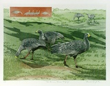 Artist: GRIFFITH, Pamela | Title: Cape Barren Geese grazing | Date: 1989 | Technique: hard ground, aquatint, from two copper plates; additional hand-tinting | Copyright: © Pamela Griffith