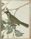 Artist: LEWIN, J.W. | Title: Yellow ear honeysucker. | Date: 1803-1805 | Technique: etching, printed in black ink, from one copper plate; hand-coloured
