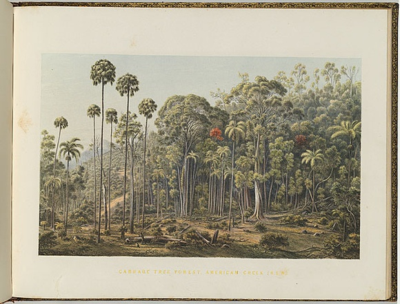 Artist: VON GUERARD, Eugene | Title: Cabbage tree forest, American Creek, New South Wales | Date: (1866 - 68) | Technique: lithograph, printed in colour, from multiple stones [or plates]